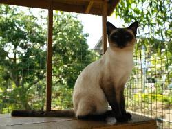 ศูนย์อนุรักษ์แมวไทยโบราณ