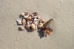 Shelling at Caladesi Island