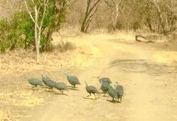 Spotted! Baby Zebra and Guinea Fowl