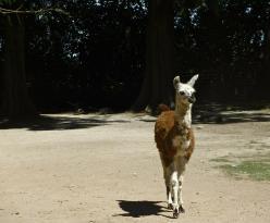 Llama, Lujan