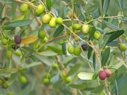 Amakusa Olive Garden Avilo