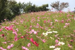 Taman Bunga Kosmos Washigamine