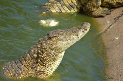 Bouncy Croc