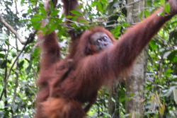 The Bohorok Orangutan Centre at Bukit Lawang