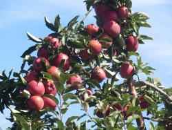 Ochs Orchard