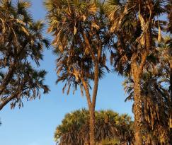 Hokka Trees