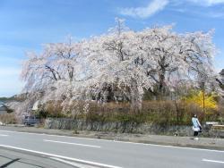 The Haradas' Cherry Blossoms