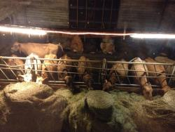 Some of their cattle