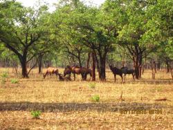 Tsessebe herd