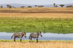 Zebras in the Tarangire National Park