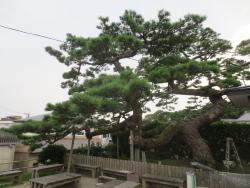Shoryu no Matsu (Pine tree)