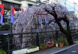 Atami Geigi Kenban Kabu Renjo