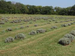 Washington Creek Lavender
