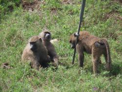 Baboons & Vervits