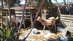 Nikos' beloved goats