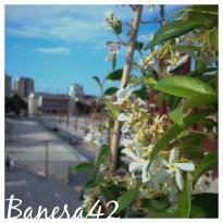 Banesa 42