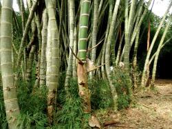 El Paraiso del Bambu y La Guadua
