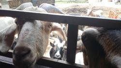 Buttercups Sanctuary for Goats