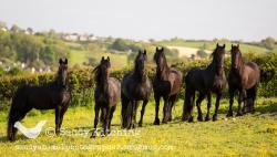 The Friesian Experience