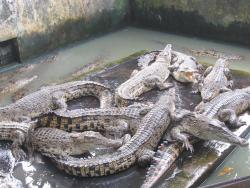 Asam Kumbang Crocodile Farm