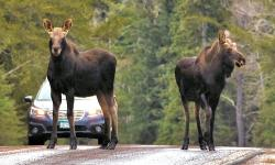 Moose on the Gunflint Trail by the lodge