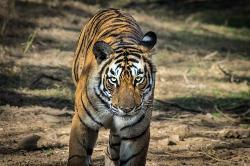 Tiger on safari
