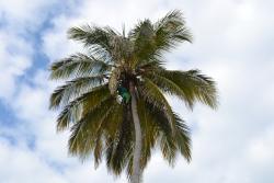 Punta Cana Princess Fresh Coconut Water Picking