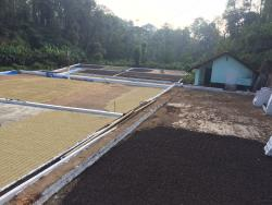 Coffee beans for drying