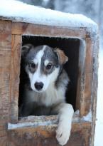 Kiruna Dogsled