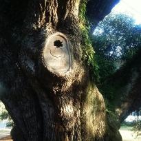 Thomasville's Historic Big Oak