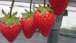 Kafuka Strawberry Farm