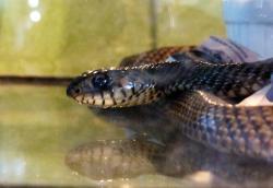 Alternatus Uruguay Criadero De Reptiles