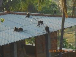 veldig morsomt med aper på besøk hver morgen, flott dyreliv her