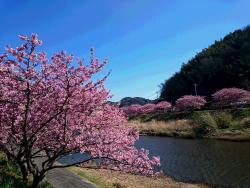 Aono River Cherry Blossoms
