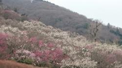 Yugawara Plum Grove