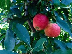 The Bilpin Fruit Bowl