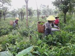 Semugih Tea Plantantion