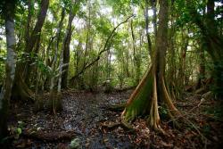 Pterocarpus Forest - Palmas del Mar