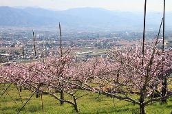 Yamanashi City Peach Fields