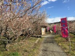 Odawara Ume blossom Matsuri