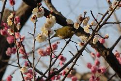 Setagaya Ume Blossom Matsuri