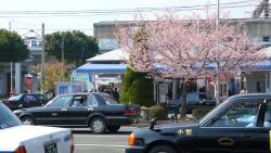 Kawazuzakura Festival