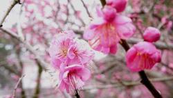 Atami Baien Ume Blossom Festival