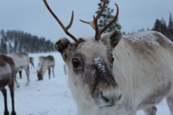Reindeer Farm Petri Mattus