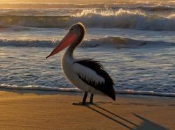 Panama Pelican