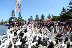 The Entrance Pelican Feed