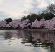 ‪National Cherry Blossom Festival‬
