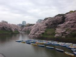 Chiyoda Cherry Blossom Matsuri