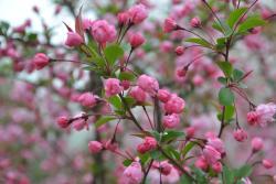 Gucun Cherry Blossom Fair