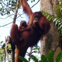 Siti's Tanjung Puting Orangutan Tours